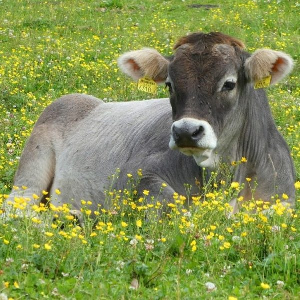 vaca-austria
